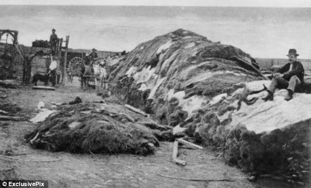 Wright's buffalo hide yard in Dodge City, Kansas, 1878, with some 40,000 buffalo hides apparently in shot